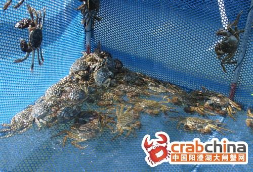 又大又肥的大闸蟹