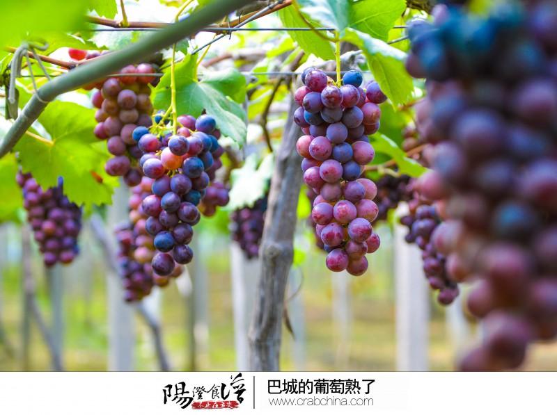 葡萄酸甜可口,清香怡人,近年来各种水果采摘已经形成一种潮流.
