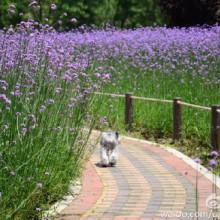 阳澄湖湖畔的紫色花海-马鞭草