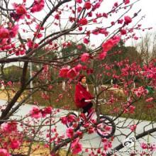 这个周日天气晴好,去阳澄湖半岛赏梅正当时,顺道去重元寺吃一碗素面……