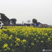 #今天春分#陽澄湖油菜花海 