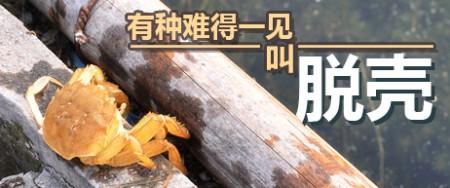 阳澄湖大闸蟹最重要的生长过程脱壳