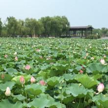 阳澄湖半岛莲花池公园 