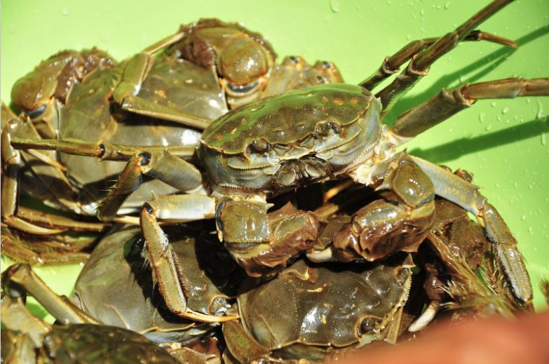 阳澄湖大闸蟹产量