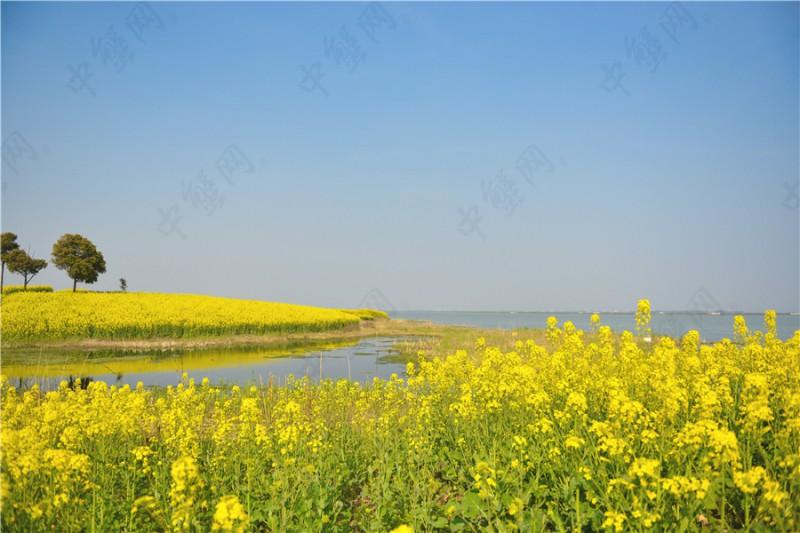 阳澄湖油菜花