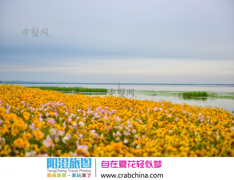 阳澄湖畔夏花