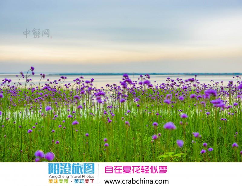 阳澄湖半岛赏花