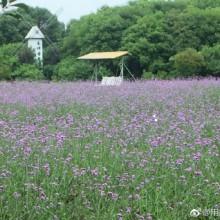 """紫色的花海,五彩的庭院,白色的风车,翩翩的蝴蝶,在阳澄湖畔的美人腿上,这里拥有四季之外的""""第五季"""",那是薰衣草开放的季节,空气中到处弥漫着花的芬芳,传递着美的气息、生命的春晖。 """