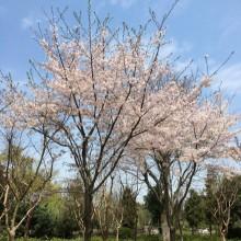 路过了路过,遗憾了遗憾…或许这就是生活的酸甜苦辣吧。 阳澄湖半岛每次去景色都不一样,心境也不同。樱花、梨花、桃花、海棠花争相绽放满树满枝头,与枯萎的芦苇形成鲜明对比,甚是美丽。 什么事不一定是绝对的,